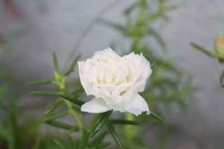 Rahsia Bunga Ros Jepun Hidup Subur Dan Bunga Merimbun Kembang Satu Taman