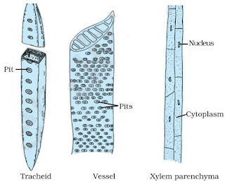 Notes of Ch 6 Plant Tissues| Class 9th Science Xylem Tissue Type