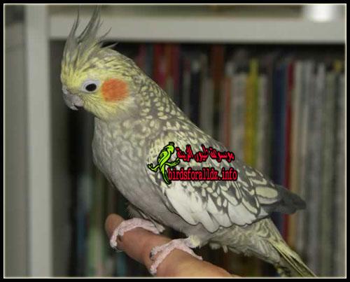 تعلم كيف تفرق بين ذكر وانثى طائر الكوكتيل بالتفصيل موسوعة طيور
