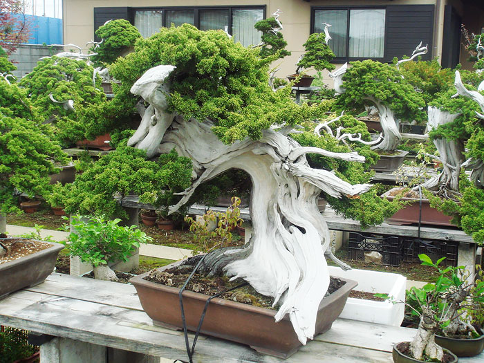 60 My Favorite Beautiful list of Trees for Bonsai [pics]