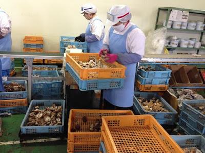 Tuyển gấp 08 nữ trồng nấm tại Kumamoto – Nhật Bản