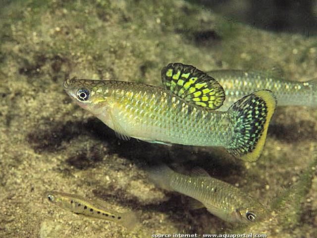 Dunia Ikan Hias - Atlantic Molly