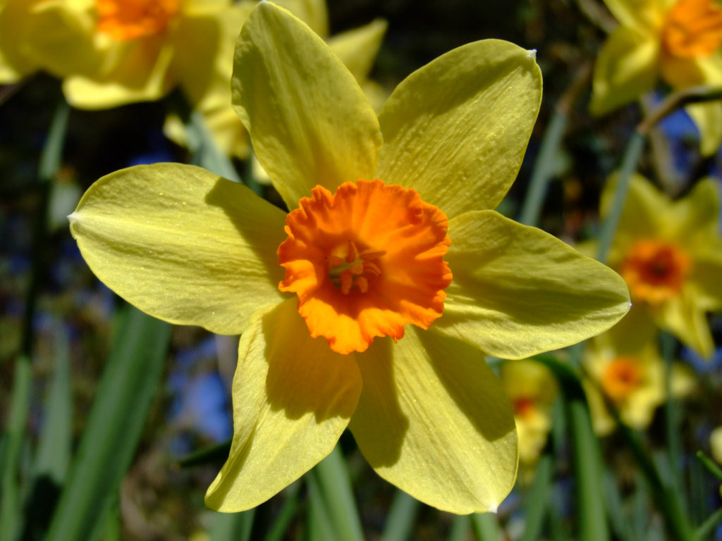 """the daffodils and to daffodils Fair daffodils, we weep to see almost forgotten in the eighteenth century, and in the nineteenth century alternately applauded for his poetry's lyricism and condemned for its """"obscenities,."""