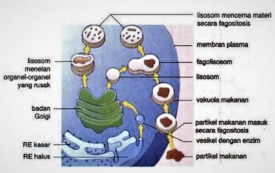 lisosom mencerna makanan