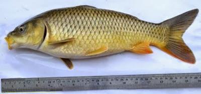 Mengenal Ikan Mas Rajadanu