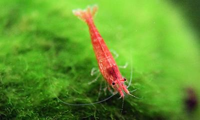 Gambar Cara Budidaya Udang Hias Red Cherry Shrimp