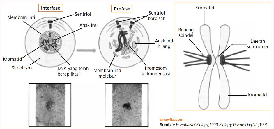 Gambar tahapan Profase pada pembelahan mitosis
