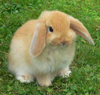 Rabbit - Herbivores Animals