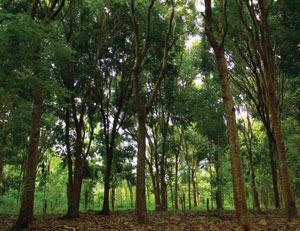 Pohon mahoni tanaman peneduh