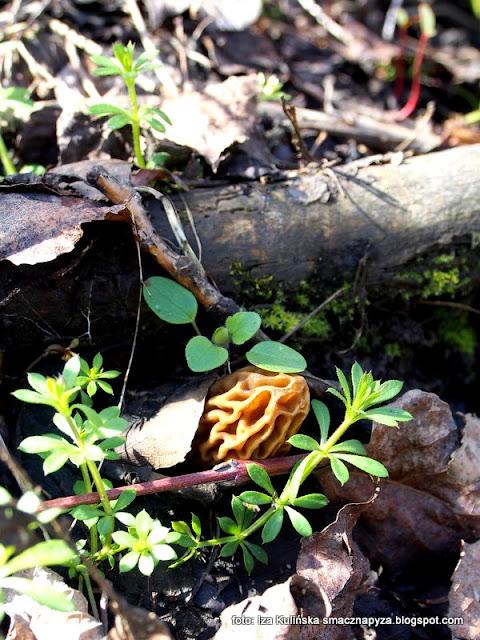 smardzówki czeskie , smardzowate , grzybobranie , wiosna , las łęgowy , łęgi , nad rzeką , nad wisłą , przyroda , wiosenna wycieczka , grzyby , wędrowanie , grzyby jadalne