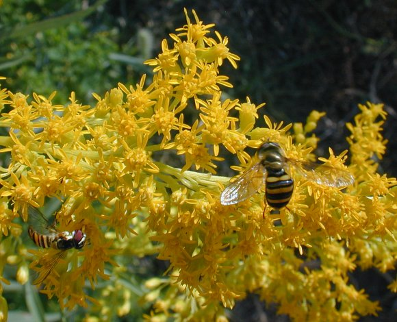 Pollination biology on goldenrods (Solidago)