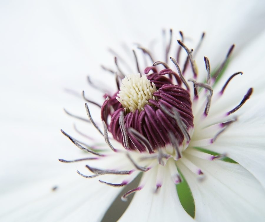 Blog + Fotografie by it's me! - Waldrebe Clematis - Makro von Blütenstaub