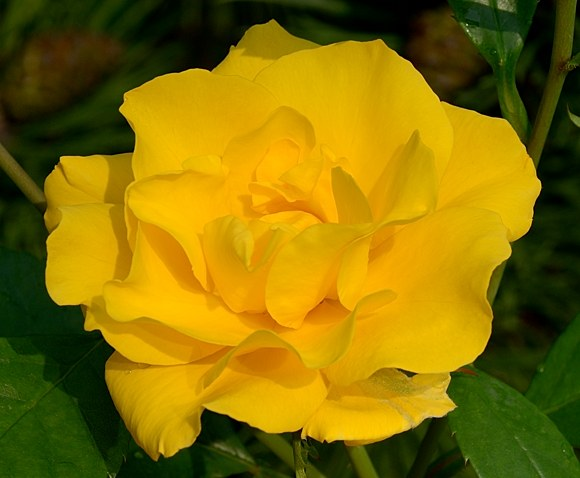 Stuttgardia сорт розы Кордес фото купить саженцы Минск