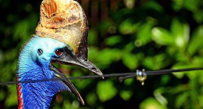 Após matar dono, ave mais mortal do mundo vai a leilão na Flórida