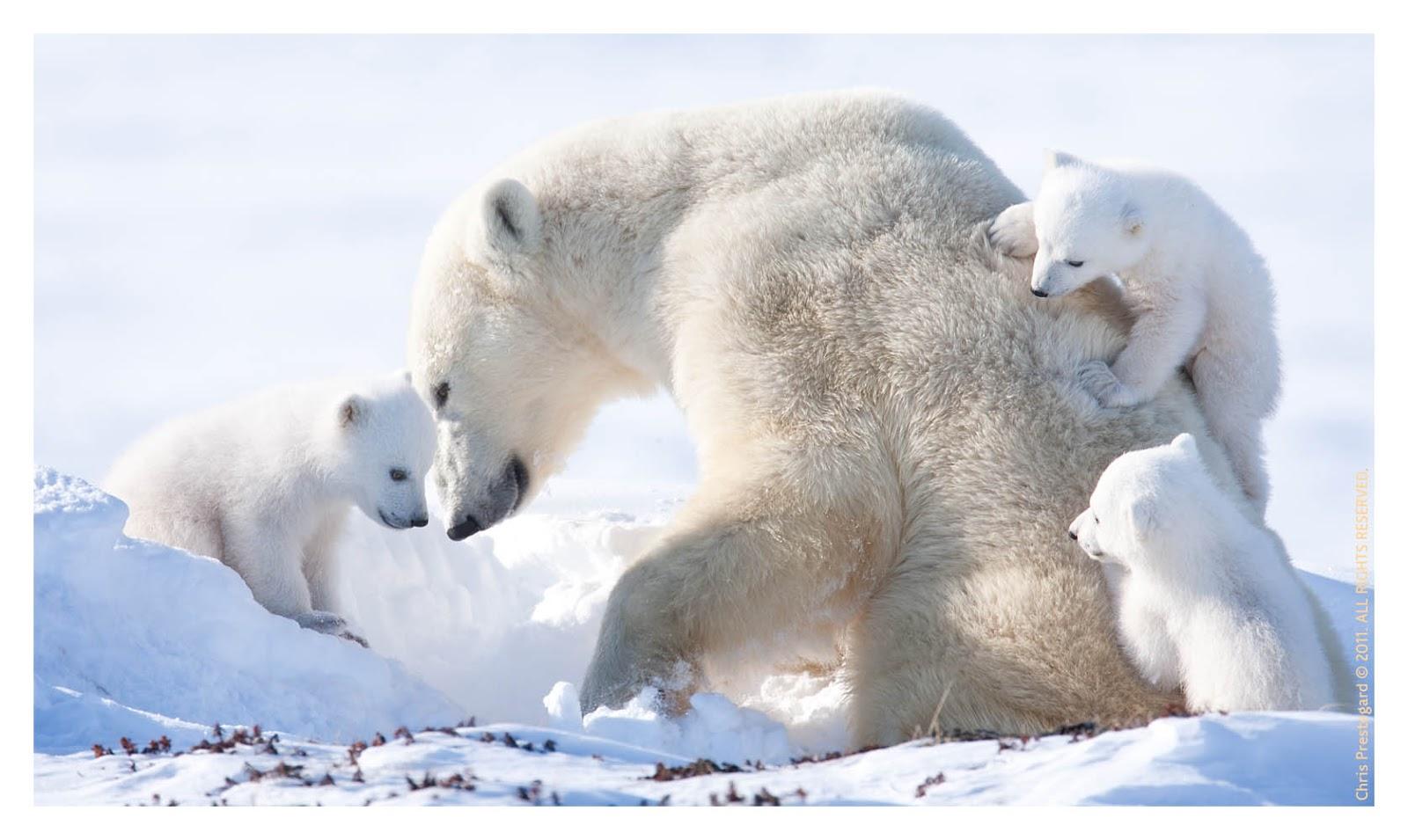 Beautiful Wallpapers Polar Bear Wallpaper-3223
