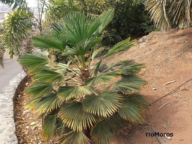 PALMERA DE FORTUNE Trachycarpus fortunei