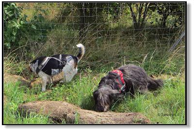 Hunde untersuchen Rasenschnitt