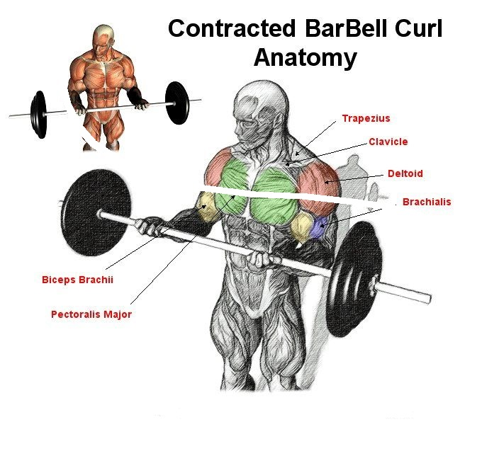 The Top Exercises For The Bicep Muscle - all-bodybuilding.com