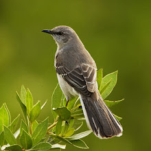 Mississippi State Bird - Mockingbird