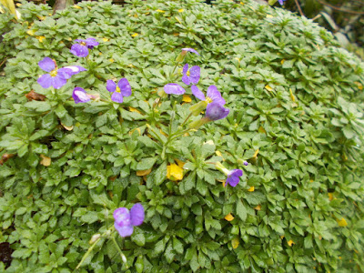 Aubretia Plants flowering in winter weird weather Green Fingered Blog