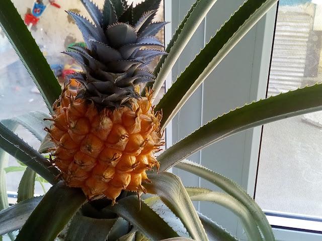 мой ананас