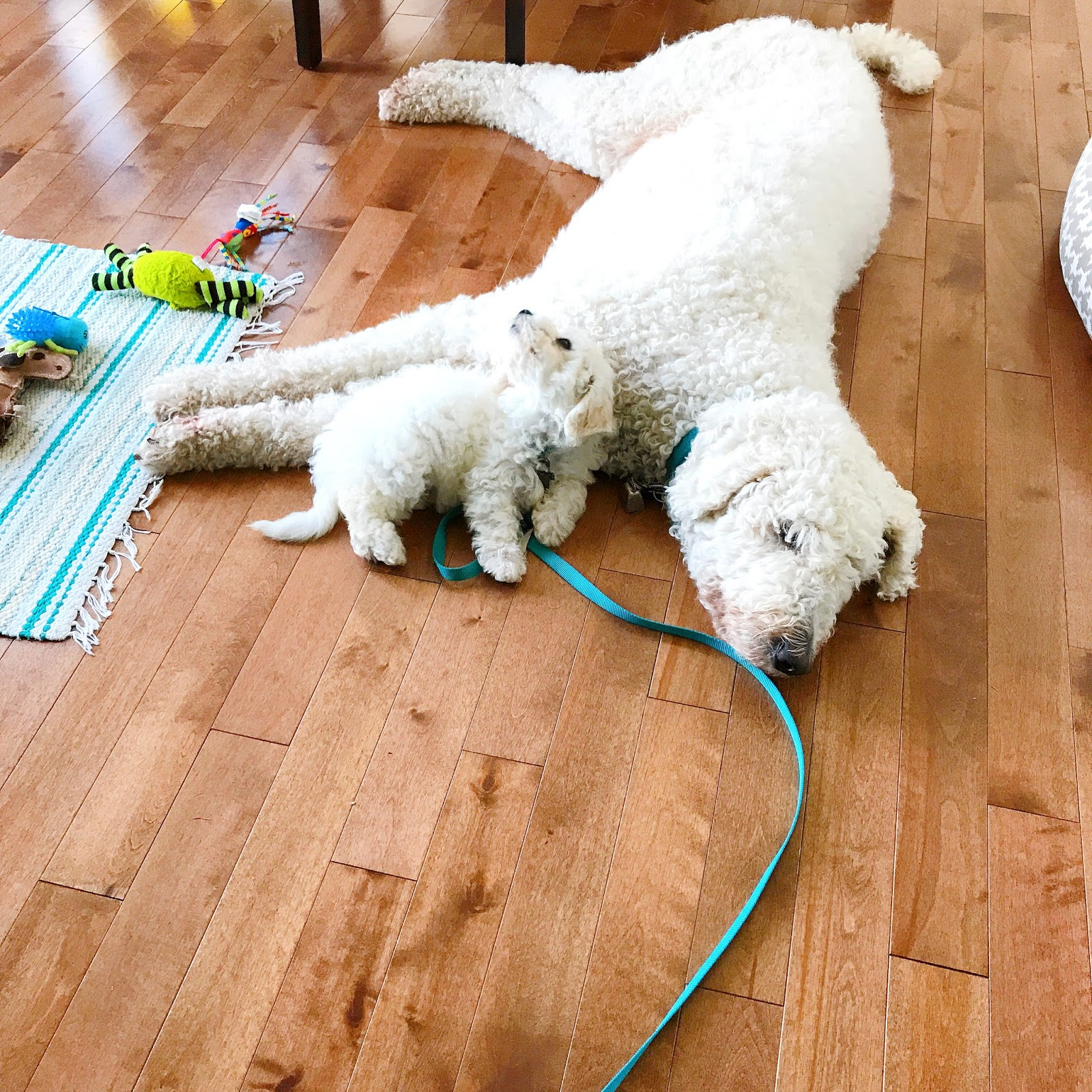 Bichon Frise Puppy with Komondor