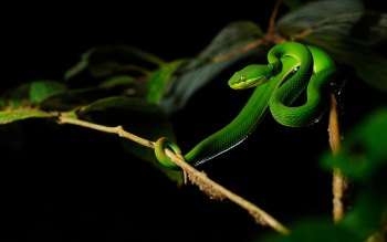 Wallpaper: Green Pit Viper