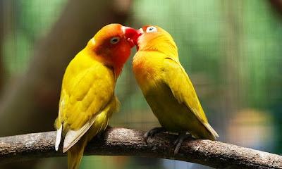 5 Tips Jitu Agar Burung Love Bird Supaya Rajin Bertelur
