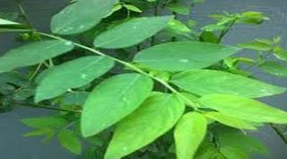 cara memasak daun katuk yang enak,cara mengolah daun katuk untuk memperlancar asi,cara mengolah daun katuk menjadi obat,cara menanam daun katuk,