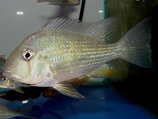 金魚快訊部落格Goldfish message blog: 市售淡水關刀魚系列圖鑑