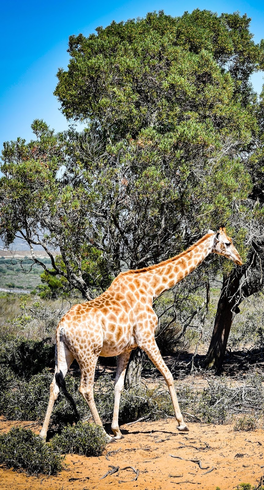 Picture of a giraffe in the dry savannah