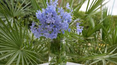 Flores de Plumbago auriculata en un tarro de cristal