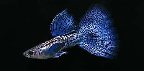 Ikan Guppy Bluelace - Cara Budidaya Ikan