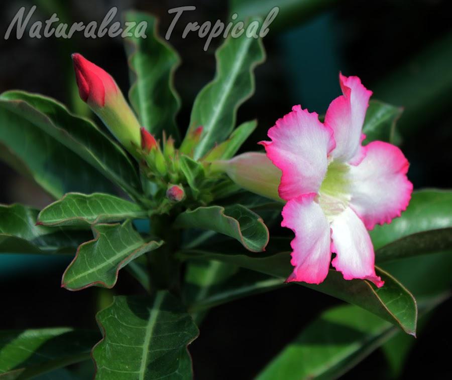 ¡Has florecer tu Rosa del Desierto más rápido!, Adenium obesum