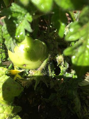 our garden, green tomato