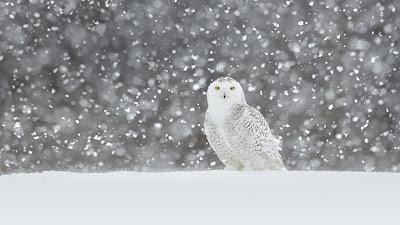 Snowy Owl Video