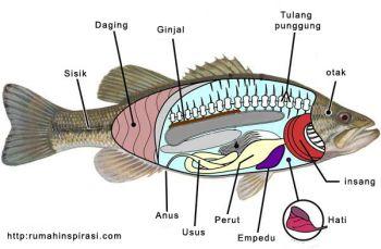 Klasifikasi Dan Morfologi Ikan Bandeng