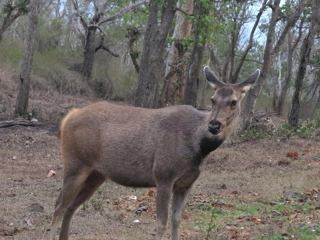 sambar deer masinagudi april 2017 safari by anuj hissaria