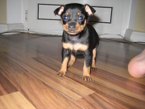 Associazione italiana difesa animali ed ambiente for Pincher cucciolo