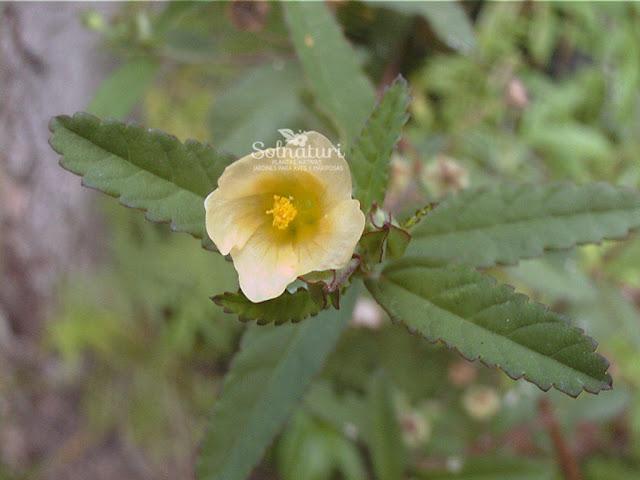 Sida rhombifolia  Escoba dura
