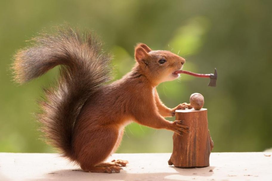 How Do Real Squirrels Try To Crack Nuts? Squirrels Photography by Geert Weggen