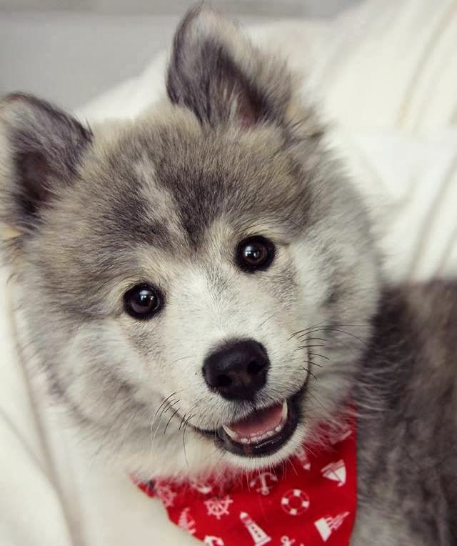 I Love Dogs What Is A Pomsky