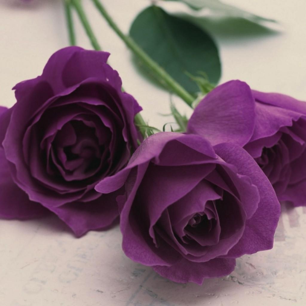фиолетовая роза значение