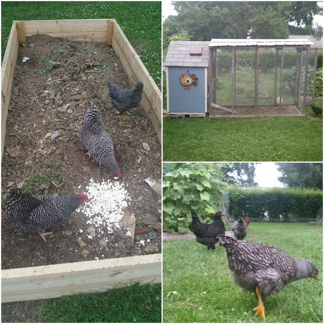 Source Extra Kitchen Scraps For Backyard Flocks: The Sustainable Couple: July 2016 Garden Update