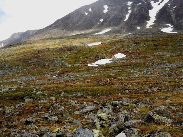 Sob, Jotunheimen, příroda, trek, sobík, Norsko