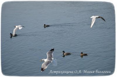 водные птицы, утки, чайки, река, вода, чайка речная, чайка хохотунья, кряква, полет