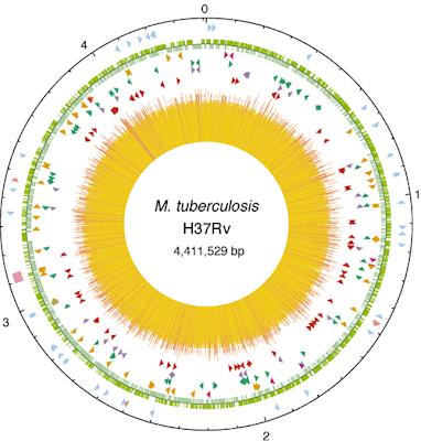 Bagaimana Cara Antibiotik Alami Membunuh Bakteri Tuberkulosis Bagaimana Cara Antibiotik Alami Membunuh Bakteri Tuberkulosis ?
