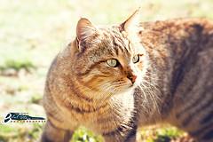هل قص شوارب القط يؤدي الى اختلال توازنه؟