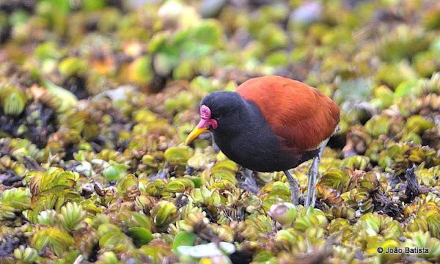 Httpsghiroph Comescudo De Bolivia: Festival Brasileiro Das Aves Migratórias: Julho 2013