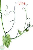 vine, plant vine
